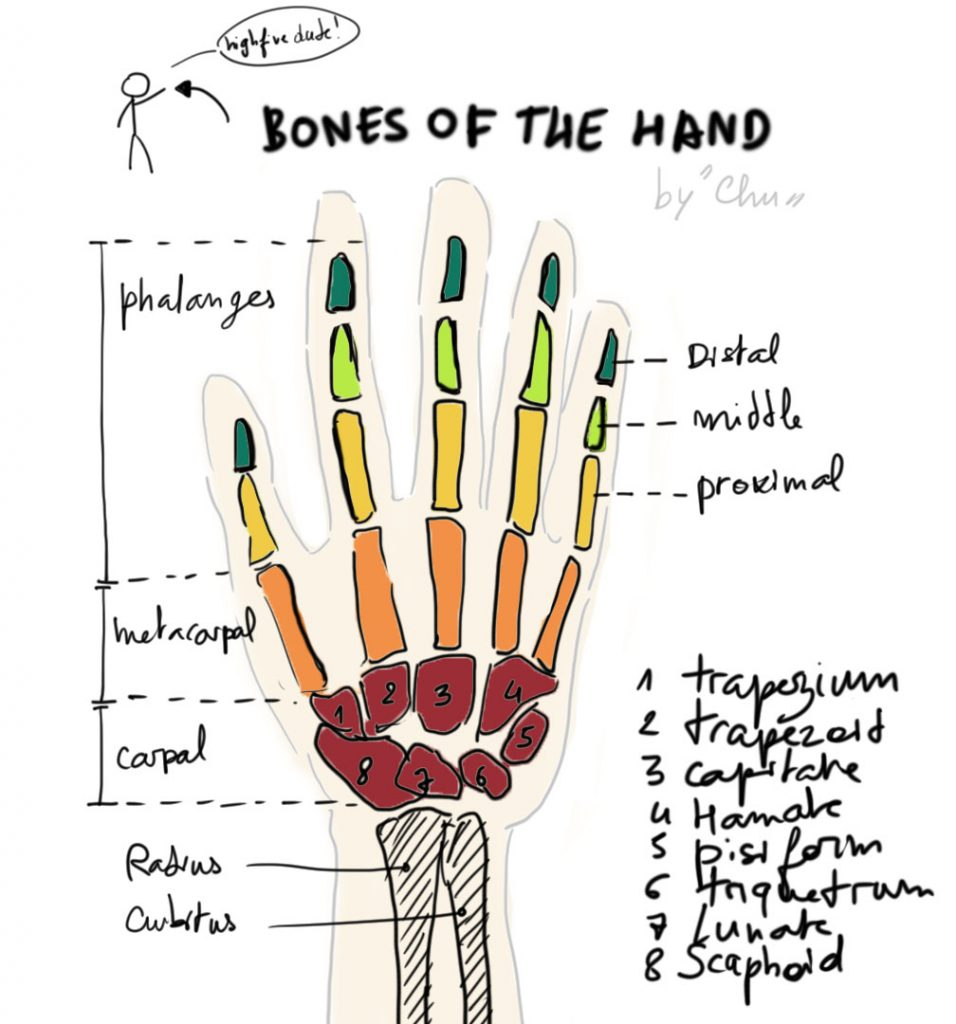 07 Da00 Drawing Anatomy Bones Of The Hand Waking Up For A Reason